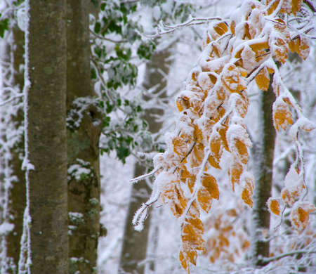 frost covered: colorful leaves of the tree covered with snow