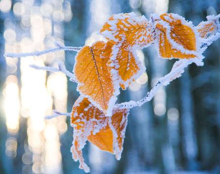 Kolorowe liÅ›cie drzewa pokryte Å›niegiem Zdjęcie Seryjne