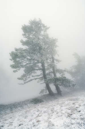 trees in fog in mountains  Stock Photo - 11211541
