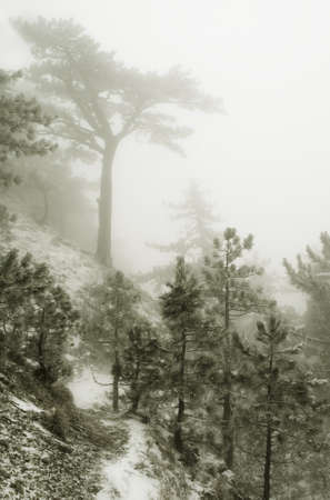 trees in fog in mountains  Stock Photo - 11211550