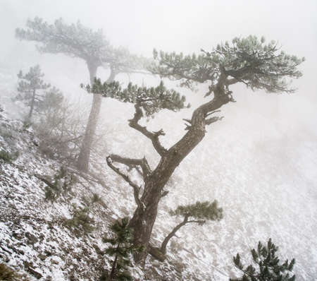 trees in fog in mountains  Stock Photo - 11211521