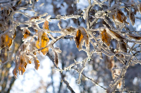 colorful leaves of the tree covered with snow in evening forest  photo