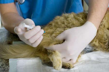 veterinarian makes the injection of a cat  photo