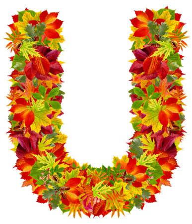 english oak: U, autumn alphabet isolated on white