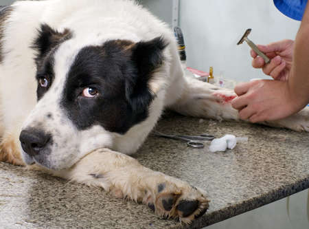 veterinarian doctor making a checkup  of a dog photo