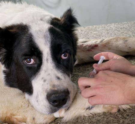 獣医は、犬を注射器で注入を与える