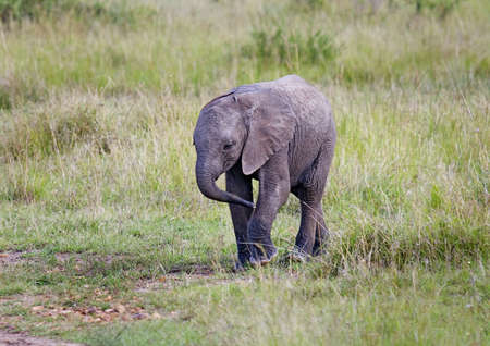 African Elephant Baby in savanna photo