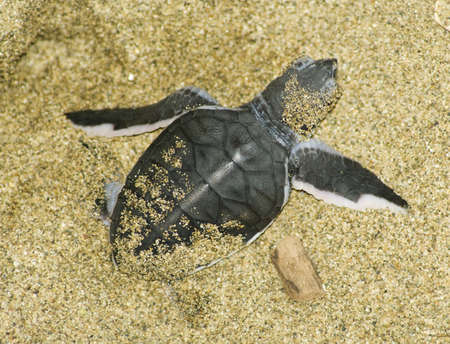 freshwater turtle: turtle give birth and get out from sand  Stock Photo