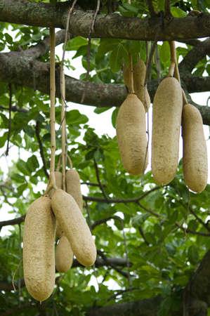 ソーセージの樹の果実 (Kigelia アフリカーナ) 写真素材