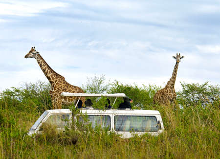 game reserve: Tourists on safari take pictures of giraffes in Masai Mara National Park - Kenya