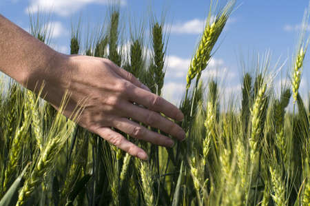 hand in a wheat field photo