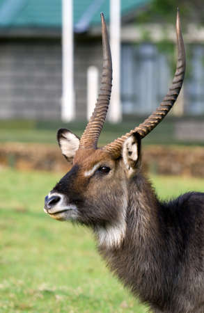 Male Waterbuck (Kobus ellipsiprymnus) antelope,  Africa  photo