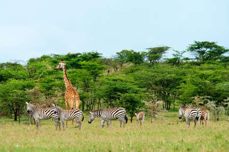 サバンナ、ケニアの野生のキリン