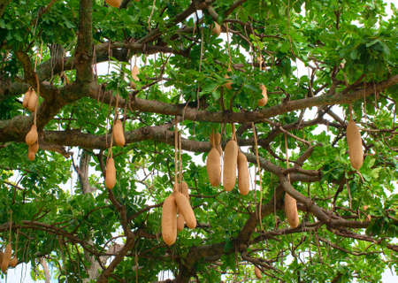 africana: Sausage tree fruit, (Kigelia africana)  Stock Photo