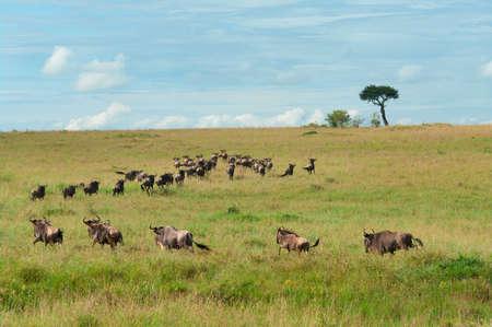 maasai mara: Wildebeest Migration, Maasai Mara, Kenya