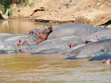 maasai mara: Hippopotamus amphibius nel fiume Masai Mara National Park, Kenya