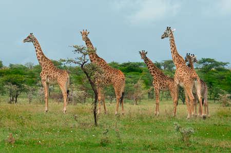 africa, african, animal, bush, camelopard, camelopardalis, conservation, dry, eating, elegant, exotic, game, giraffa, giraffe, graceful, grass, kenya, large, long, mammal, national, nature, neck, park, pattern, reserve, safari, savanna, stand, tall, tanza