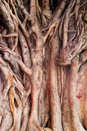 Background image of  a tropical banyan tree (ficus benghalensis) . photo