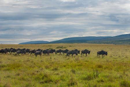 maasai mara: Migrazione degli gnu, Masai Mara, Kenya