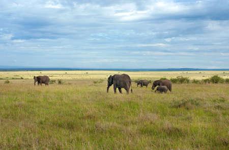 maasai mara: Elephants in maasai mara national park, Kenya.