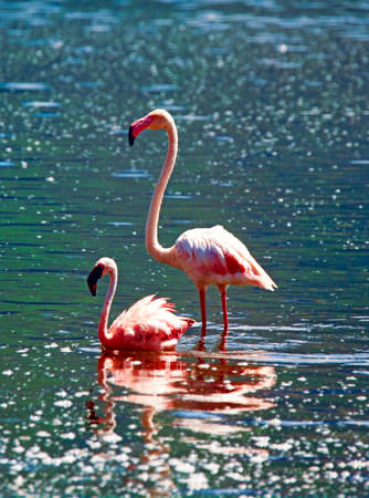 African flamingos in the lake  photo