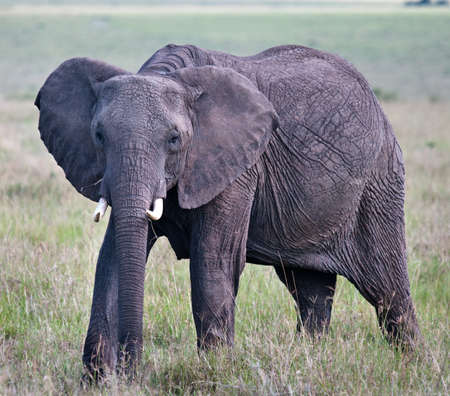 Elephants in maasai mara national park, Kenya.  photo