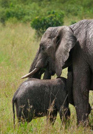 Wild elephant mother and baby in maasai mara national park, Kenya.   photo