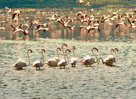 African flamingos in Lake Bogoria photo