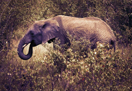 maasai mara: Elephants in maasai mara national park, Kenya.  Stock Photo