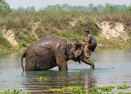 CHITWAN, NEPAL - APR 2: Elephant swimming in river  on Apr 2, 2014  in Chitwan National park, Nepal