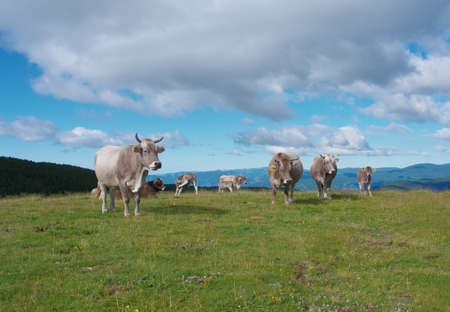 Cows grazing in green meadows, Pyrenees mountains  photo
