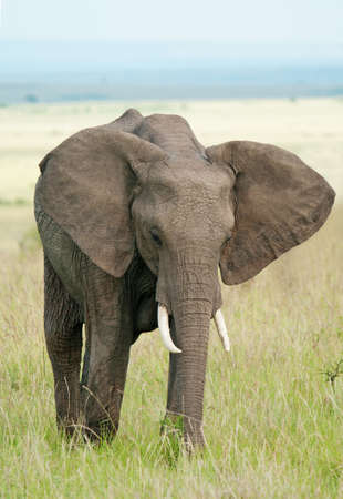 Elephant in masai mara national park, Kenya photo