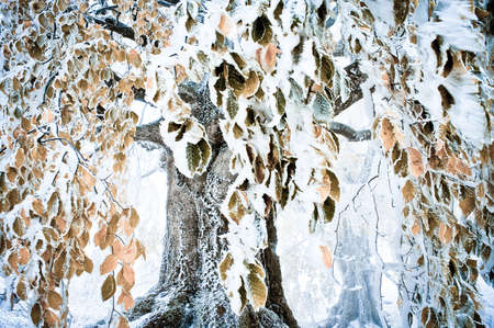 Tree  with  colorful leaves covered  snow photo