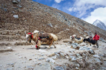 herdsman: SAGARMATHA NATIONAL PARK, NEPAL - CIRCA MARCH 2014: Himalayan Herdsman and Yak on the trail near Everest Base Camp in Nepal circa March 2014. Editorial