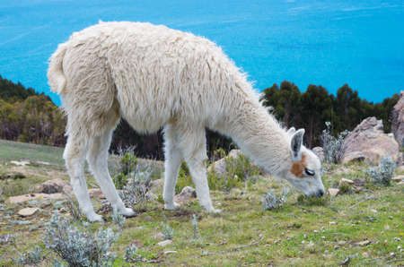 Lama on Island of the Sun (Isla Del Sol) on Titicaca lake. Bolivia. photo