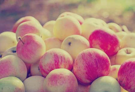 freshly picked: freshly picked  apples in sunshine light. Stock Photo