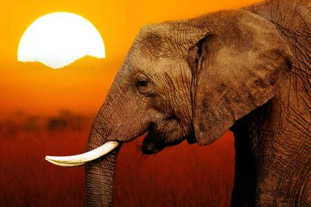 siluetas de elefantes: Elefante en la puesta del sol africana Antecedentes Foto de archivo