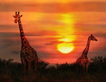 giraffe: Jirafas salvajes en la sabana al atardecer