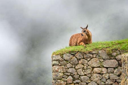 machu picchu: Lama in Machu Picchu , Peru.  Stock Photo