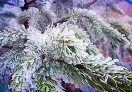 evergreen tree: evergreen branches pine tree with fresh snow