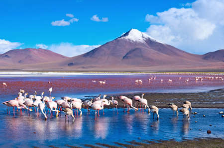 laguna: Flamingoes in Laguna Colorada , Uyuni, Bolivia Stock Photo