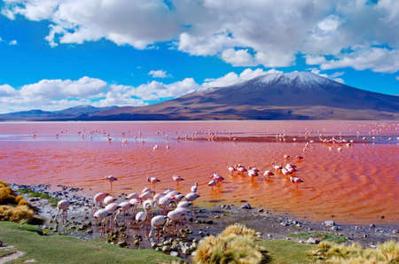 Flamingoes in Laguna Colorada , Uyuni, Bolivia 免版税图像