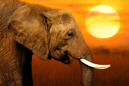 Elephant at African Sunset Background