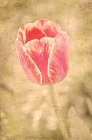 vintage postcard: postcard of spring tulip, vintage effect
