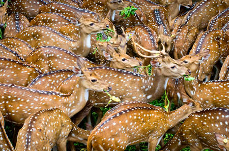 deer  spot: Spotted deers or chitals (Axis axis) in zoo, in Thiruvananthapuram, Kerala, India