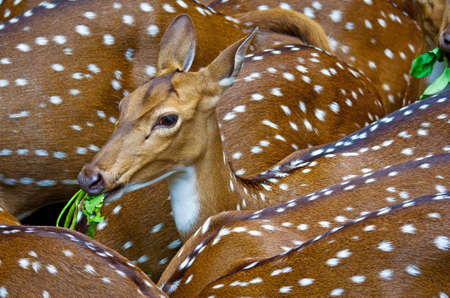 axis: Spotted deers or chitals (Axis axis) in zoo, in Thiruvananthapuram, Kerala, India