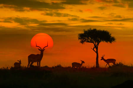 African sunset with silhouette of the animals