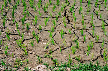 waterless: rice growing in the rice field, no water,dry on drought land.