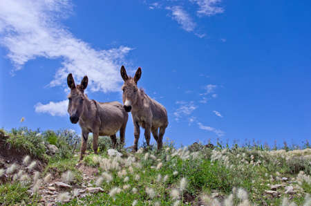 bolivian: Grey donkeys in the Bolivian countryside