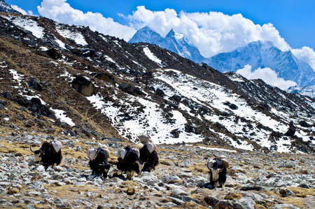 yak: Yak on the trail near Everest Base Camp in Nepal Stock Photo